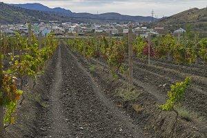 Vineyard in the Crimea.