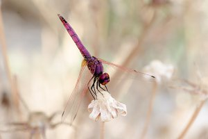 Dragonfly purple on light background