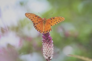 Orange Butterfly II