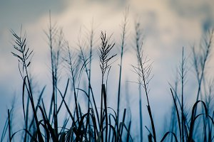 Rice Field I