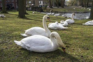 Swans in the park.