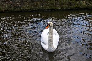 White Swan.