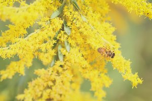 Yellow Honey Bee