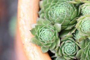Succulent Garden in Pot II