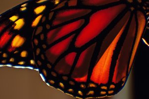 Detail of Monarch Butterfly Wing