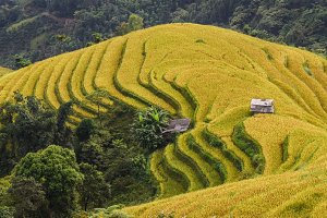 Rice field terraces in Vietnam