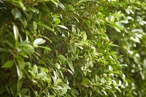 Buxus sempervirens bush