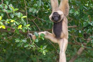 White Cheeked Gibbon cute monkey
