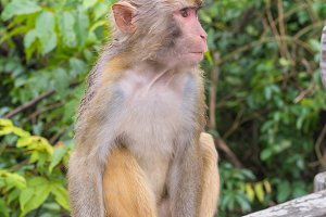 crab-eating macaque or Thai monkey.