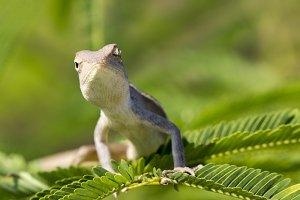 Image of chameleon.