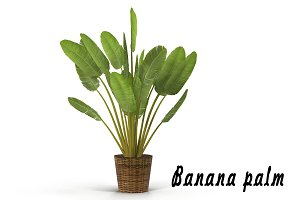 Banana palm in pot