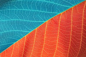red and blue leaf background