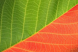 red and green leaf background