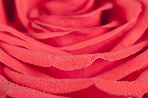 Rose flower fragment macro