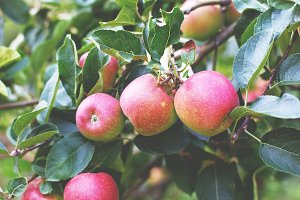 Pink lady apples 2