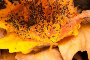 Freckled Leaf