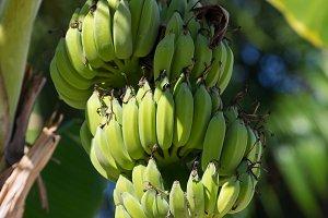 Organic banana on a bunch on tree