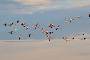 Flamingo Flight - Colorful Nature