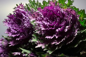 Bud ornamental cabbage