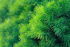 Pine background