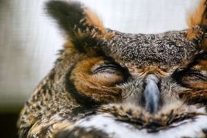 Great Horned Owl III