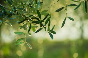 Olive tree with leaves