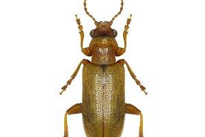 Leaf Beetle Orsodacne