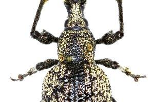 Weevil Otiorhynchus corruptor