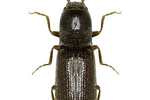 Click Beetle Agriotes