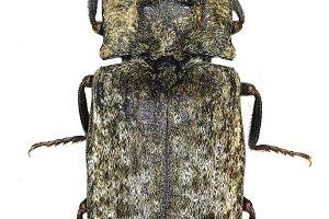 Mousegrey Click Beetle