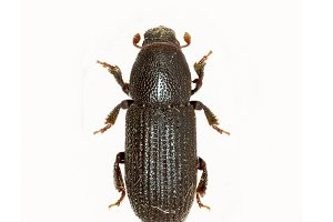 Bark Beetle on white Background