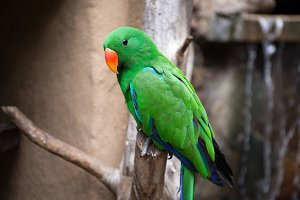 Green bird (Parret)