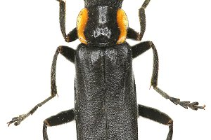 Black Soldier Beetle
