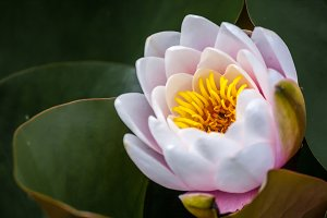 White Pink Water Lily 2