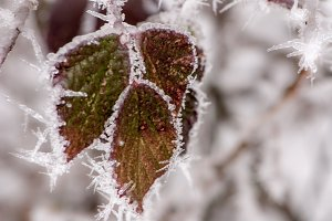 Three frozen leafs