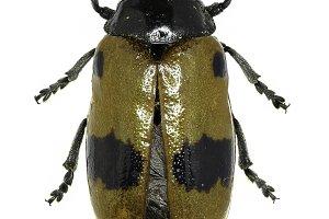 Short-horned Leaf Beetle