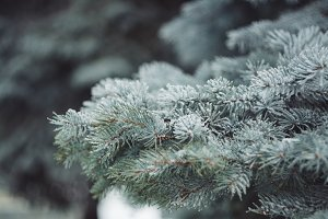Winter fir-tree branches
