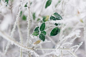 Green leaves in frost