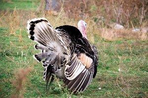 turkey graze close up in the village
