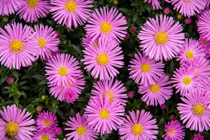 Autumn perennial aster purple on a green background