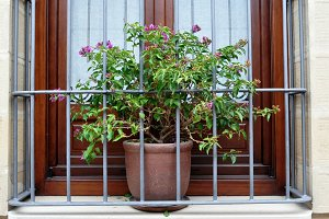 Bougainvilla in a pot on window