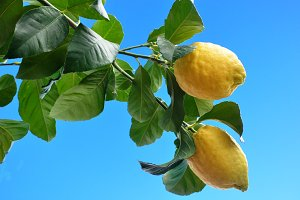 Two splendid lemons