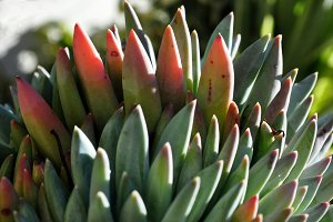 crown of succulents leaves