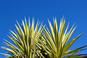 two yucca on blue sky