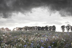 Storm clouds over flower field.