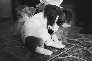 Little dog plays with a wedding veil