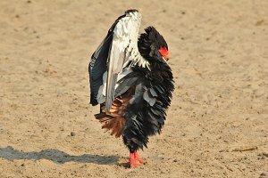 Bateleur Eagle - Anger Management