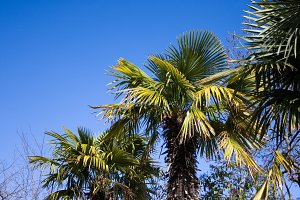 evergreen palm trees