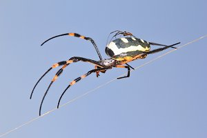 Spider Love - Golden Orb Weaver