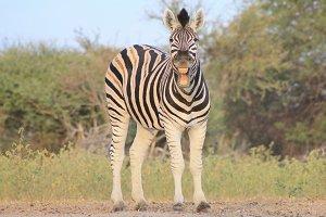 Zebra Smile - Funny Nature